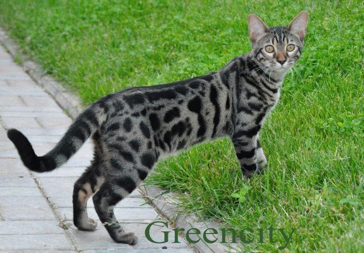 Бенгальська-кішка-фото
