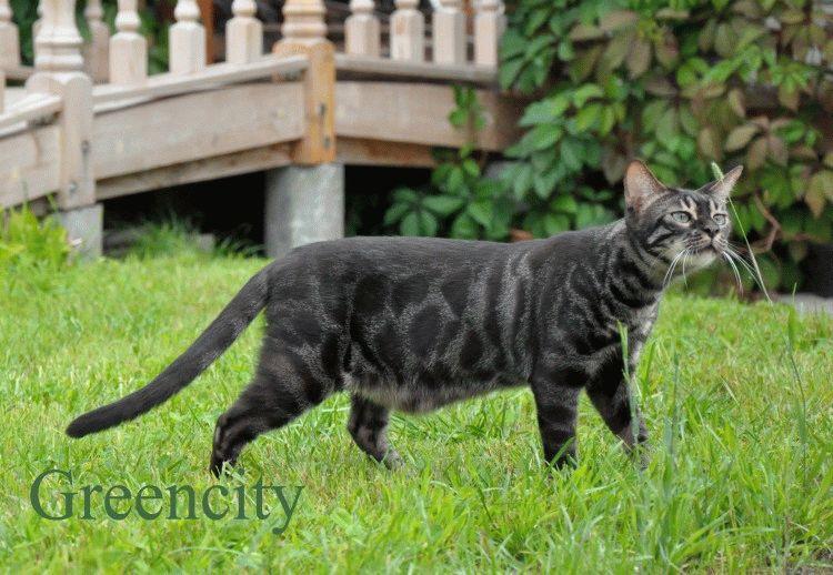 Бенгальський кіт фото