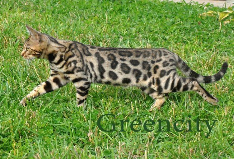 Бенгальський кіт ціна
