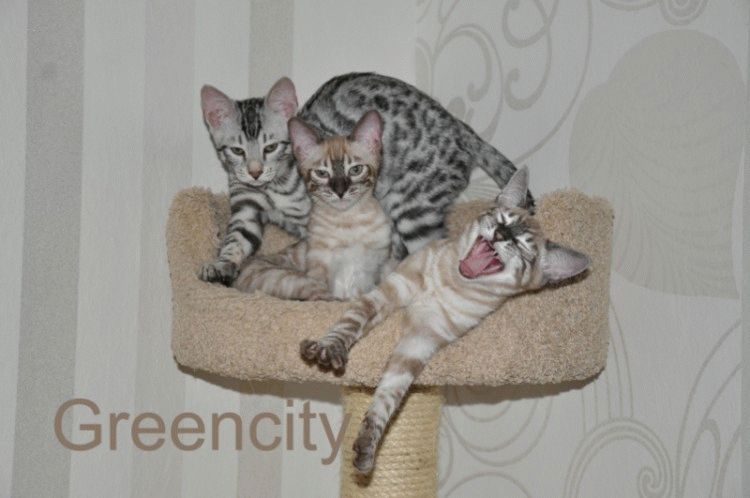Бенгальські коти кошеня