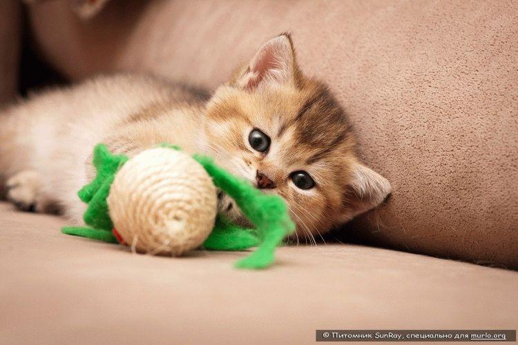 Порода котів британська короткошерста