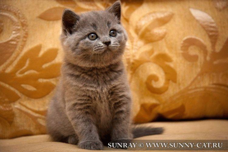 Британські котеняна фото