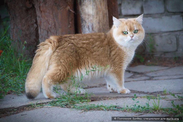 Британська порода котів