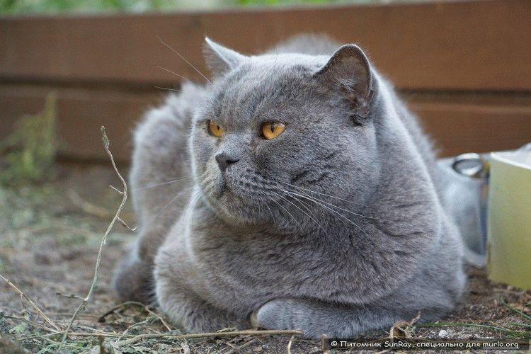 Британський короткошерстий кіт фото