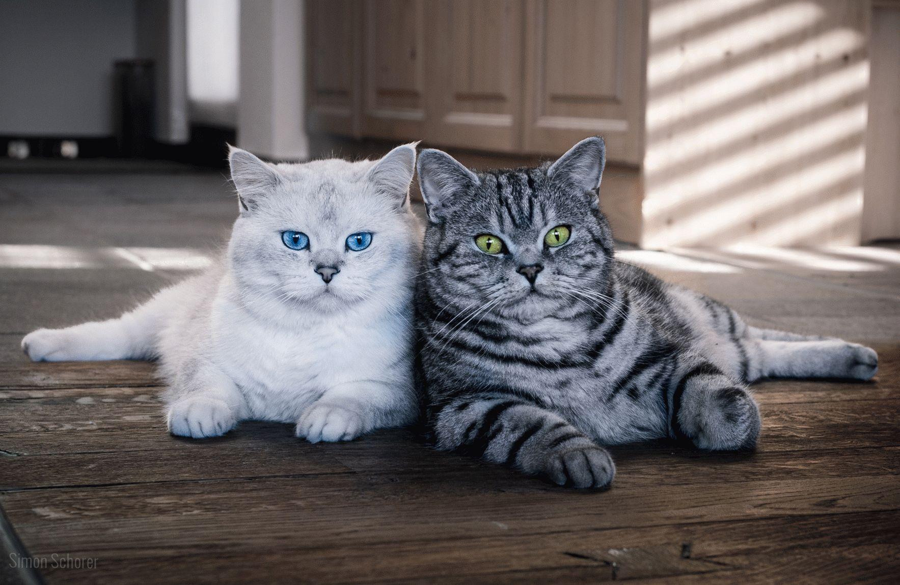 Британські короткошерсті коти фото