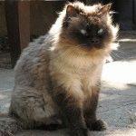 Гімалайський кіт догляд