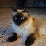 Гімалайський кіт фото
