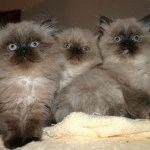 Гімалайські кошенята