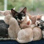 Девон Рекс кошенята ціна