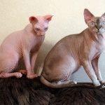 Коти породи Канадський сфінкс фото