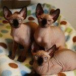 Коти породи Канадський сфінкс