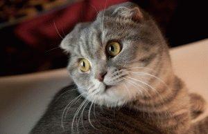 Коти шотландські висловухі фото