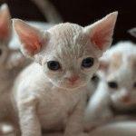 Кошенята Девон Рекс
