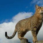 Кіт Єгипетський мау