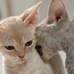 Кіт Девон рекс