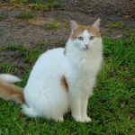 Кіт Турецький ван