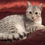Кішка Єгипетський мау