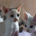 Кішки Девон Рекс