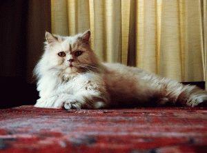 Персидська кішка фото 1
