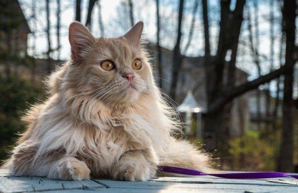 Персидська кішка фото
