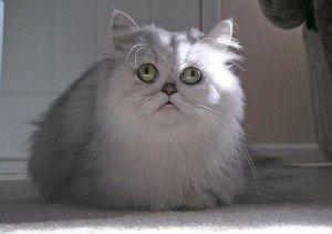 Персидська кішка ціна