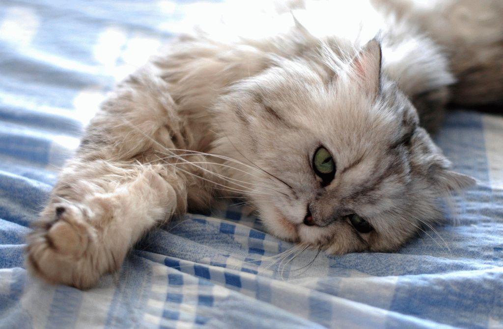 Персидський кіт догляд