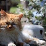 Персидський кіт фото