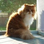 Персидський кіт ціна
