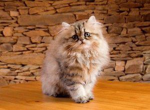 Персидські коти кошеня