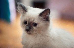 Сибірський кіт кошеня