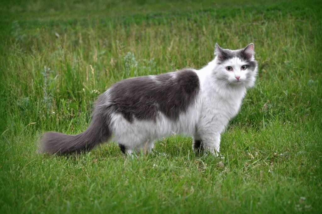 Сибірський кіт фото