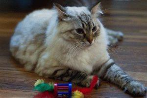 Сибірський кіт фот 4