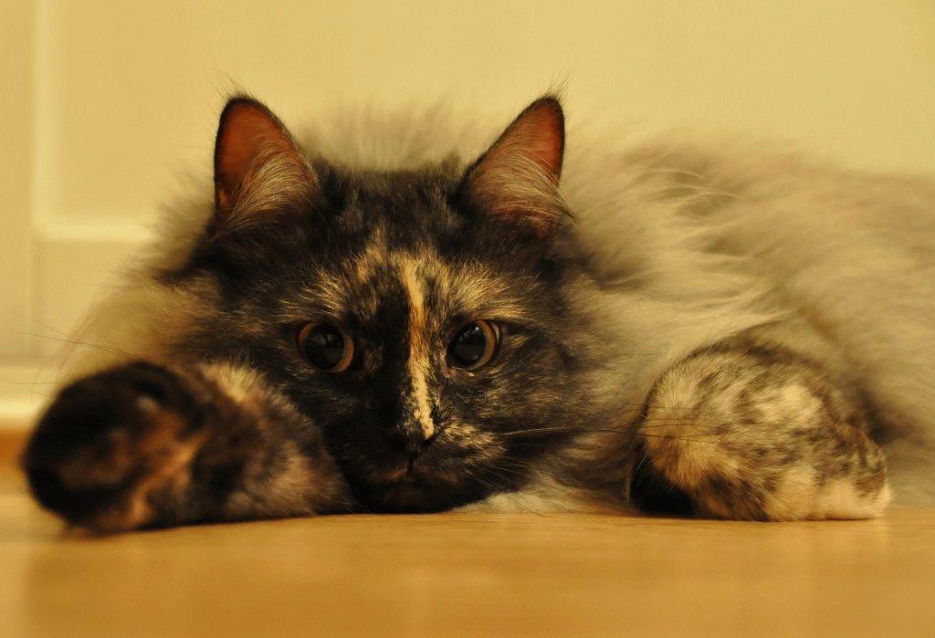 Сибірські коти