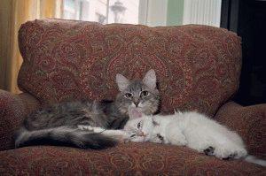 Сибірські коти 2