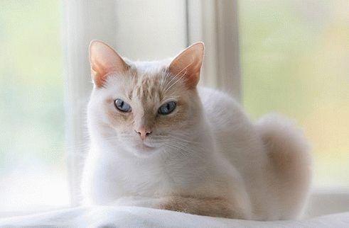 Сіамська кішка фото