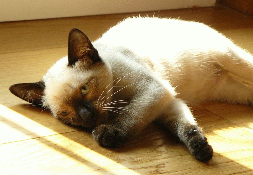 Сіамська кішка ціна