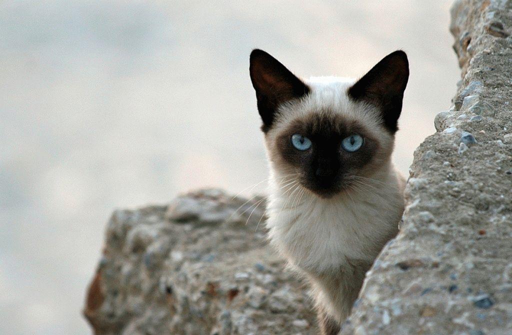 Сіамський кіт фото 2