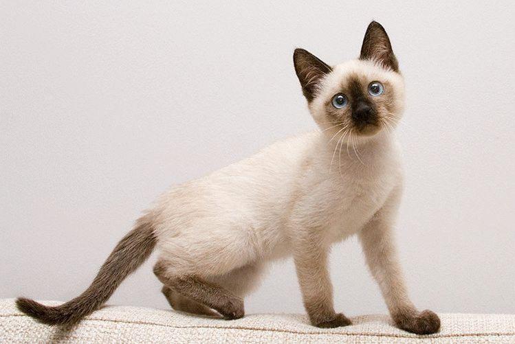 Сіамський кіт фото