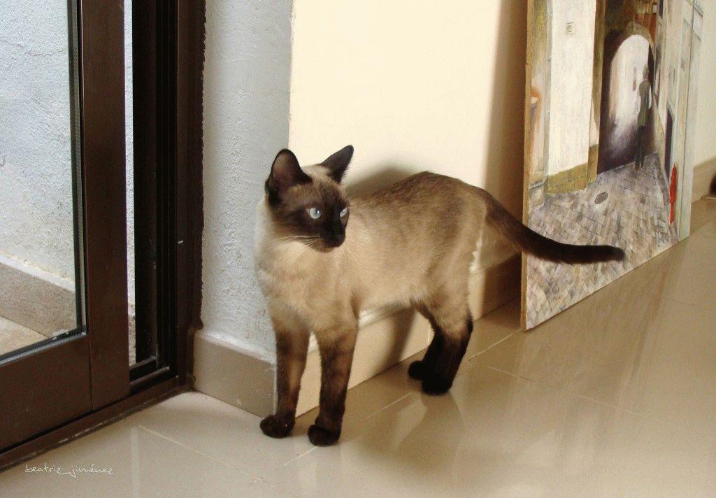 Сіамський кіт 2