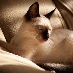 Сіамські коти