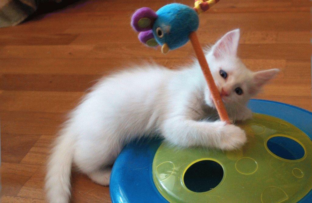 Турецька ангора кошеня фото