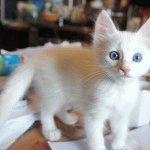 Турецька ангора кошеня