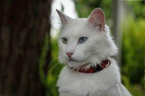 Турецька ангора кішка