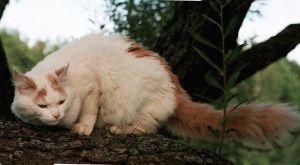 Турецький ван кішка