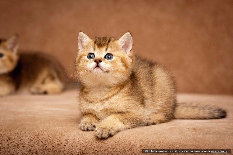 Фото британське кошеня
