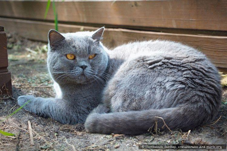 Британський кіт фото