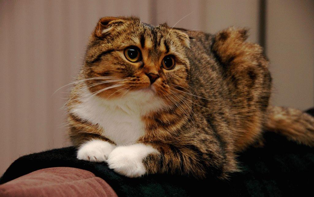 Шотландський висловухий кіт фото 2