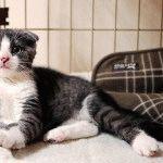 Шотландський висловухий кіт фото