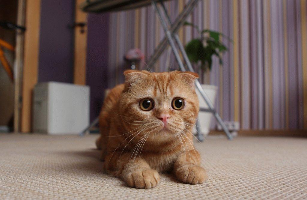 Шотландський висловухий кіт