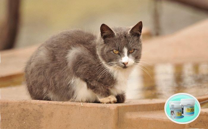 Як вилікувати лишай у кота